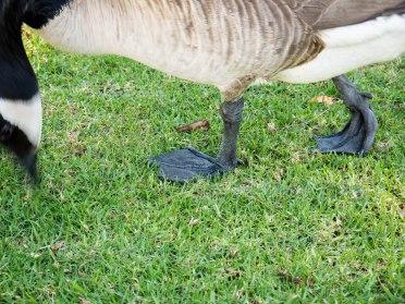 duck-feet-1000784