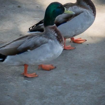 duck-feet-1000802