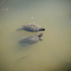 Turtles-1020842