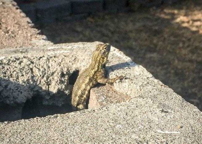 Lizard-6915