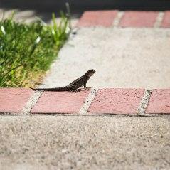 Lizard-9332