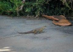 Lizard-9343