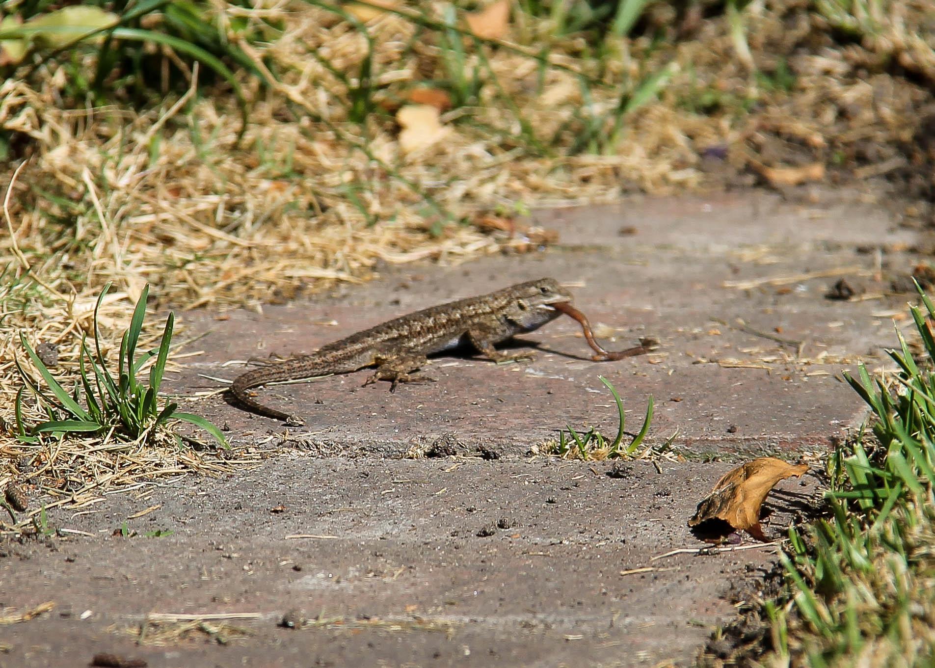 Lizard-9347