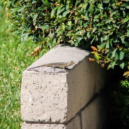Lizard-9355